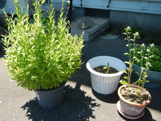 大塚 墓石展示場の植物 桔梗ききょう と 紅花ベニバナDSCN4468