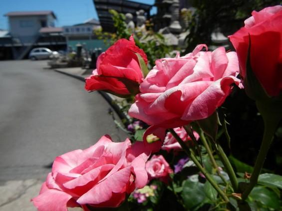 大塚 墓石展示場の植物 薔薇バラDSCN4472