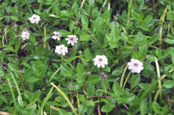 埼玉県 桶川霊園 雨の日の花DSC_0102