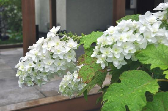 埼玉県 桶川霊園 西洋アジサイ 紫陽花 あじさい DSC_0093