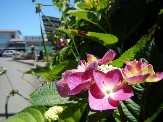 大塚 墓石展示場の植物 紫陽花あじさいDSCN4473