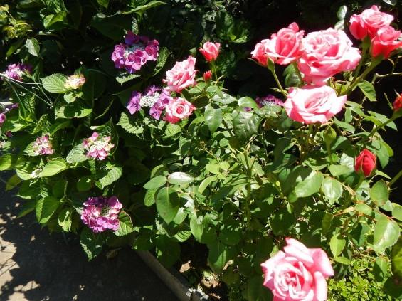 大塚 墓石展示場の植物 薔薇バラと紫陽花あじさいDSCN4474