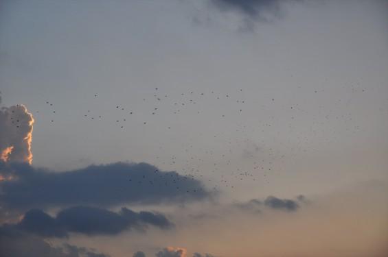 20140913 2014年9月13日の埼玉県上尾市から見えた日没後のムクドリDSC_0115