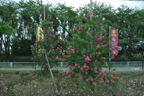 ブラシの木 花が綺麗に咲いてました!埼玉県 桶川霊園DSC_0040