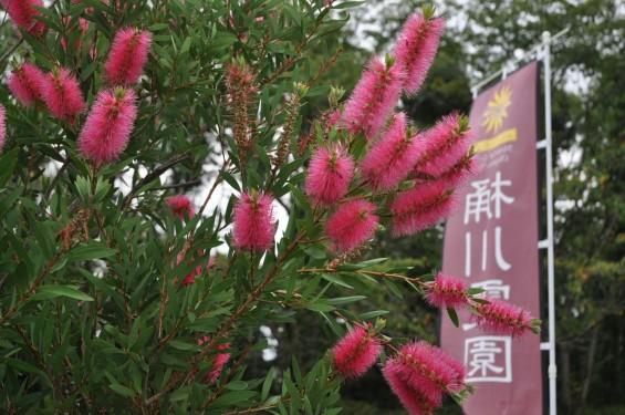 ブラシの木 花が綺麗に咲いてました!埼玉県 桶川霊園DSC_0054