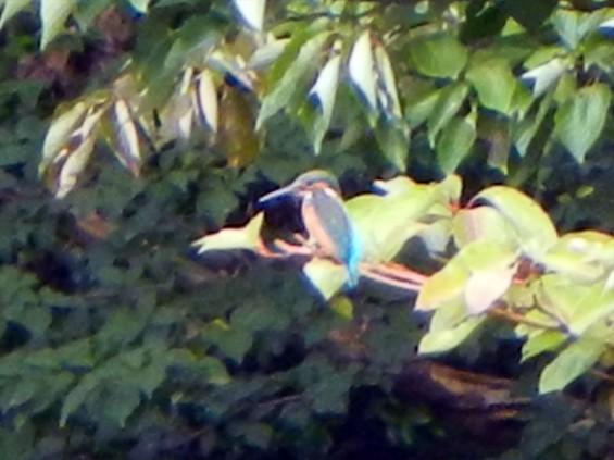20140906 岩槻公園にいる 野生のカワセミに会いましたDSCN5343-