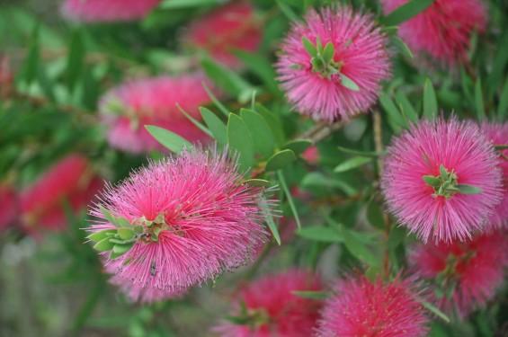 ブラシの木 花が綺麗に咲いてました!埼玉県 桶川霊園DSC_0035