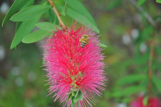ブラシの木 花が綺麗に咲いてました!ミツバチ蜜蜂 埼玉県 桶川霊園DSC_0037