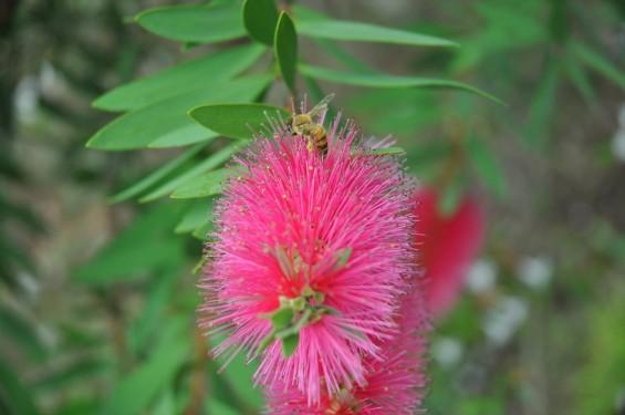 ブラシの木 花が綺麗に咲いてました!ミツバチ蜜蜂 埼玉県 桶川霊園DSC_0038