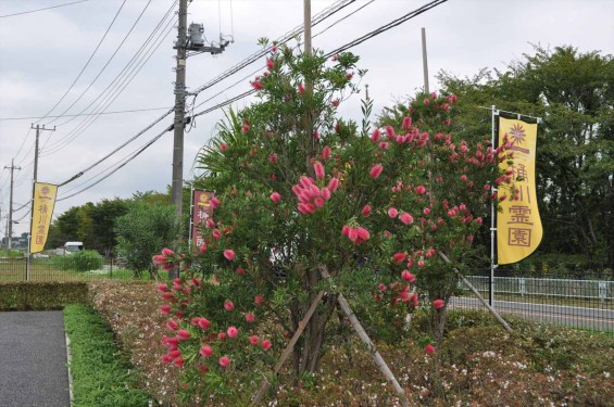 ブラシの木 花が綺麗に咲いてました!埼玉県 桶川霊園DSC_0043