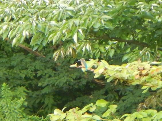 20140906 岩槻公園にいる 野生のカワセミに会いましたDSCN5343