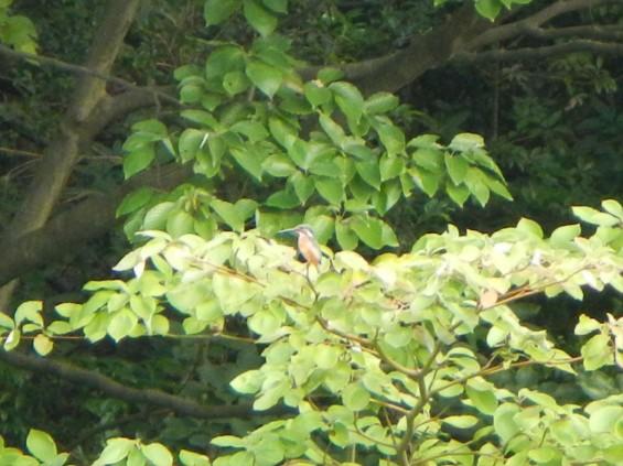 20140906 岩槻公園にいる 野生のカワセミに会いましたDSCN5339