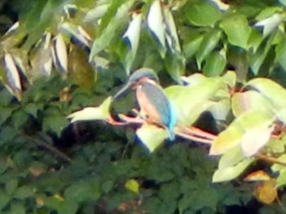 20140906 岩槻公園にいる 野生のカワセミに会いましたDSCN5345-