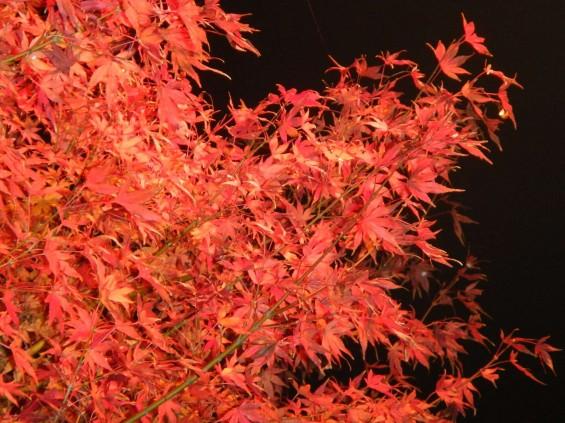 夜のモミジ 紅葉 赤いDSCN6258