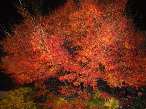 夜のモミジ 紅葉 赤いDSCN6250