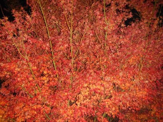 夜のモミジ 紅葉 赤いDSCN6247