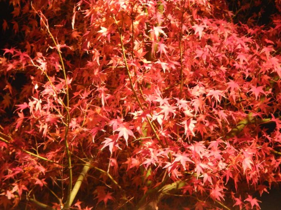 夜のモミジ 紅葉 赤いDSCN6294
