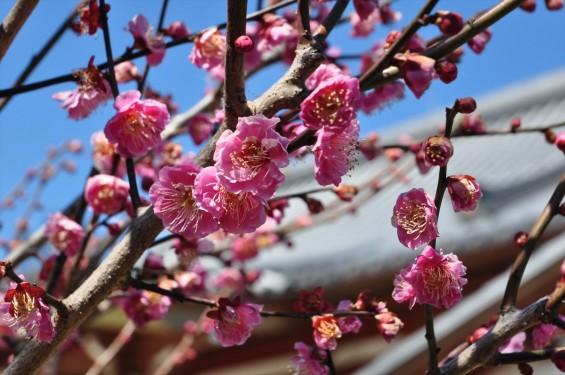 20150312 埼玉県久喜市 香最寺の梅が間もなく満開DSC_0008