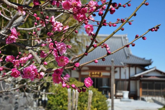 20150312 埼玉県久喜市 香最寺の梅が間もなく満開DSC_0012