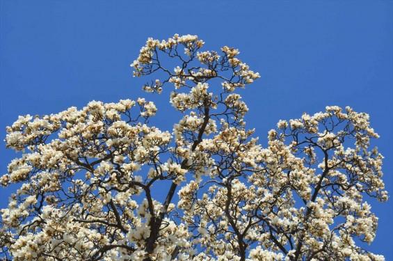 20150325 埼玉県上尾市 遍照院 モクレンの花 木蓮の花DSC_0037-
