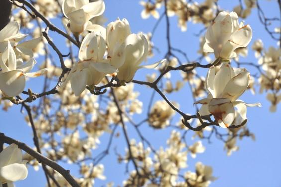 20150325 埼玉県上尾市 遍照院 モクレンの花 木蓮の花DSC_0031-