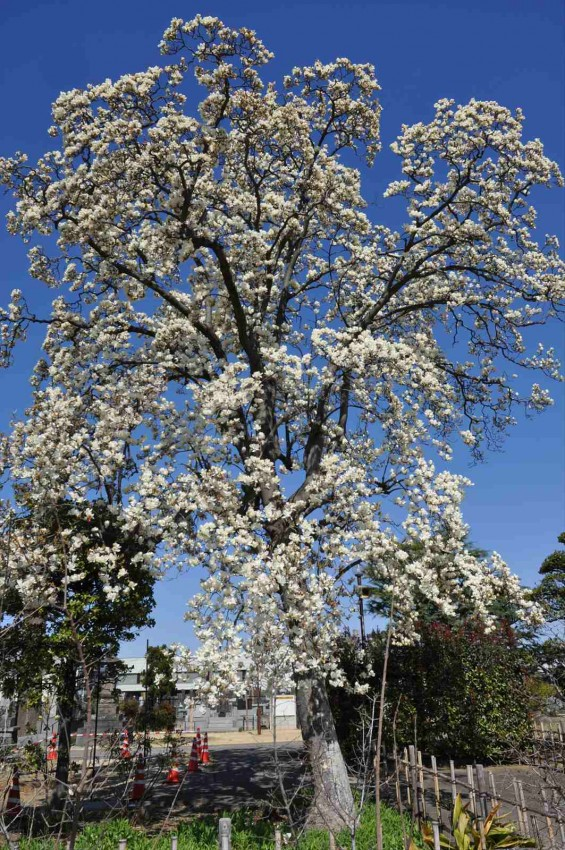 20150325 埼玉県上尾市 遍照院 モクレンの花 木蓮の花DSC_0035-
