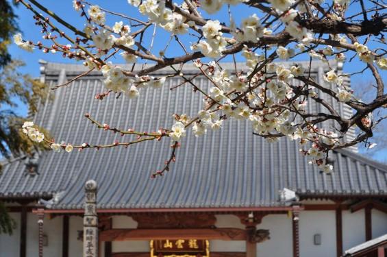 20150312 埼玉県久喜市 香最寺の梅が間もなく満開DSC_0011