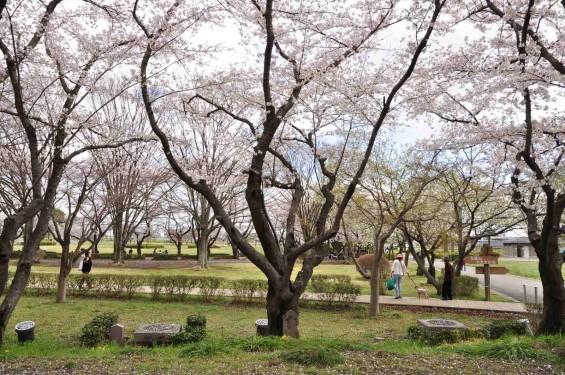 2014年4月4日 さきたま古墳の桜DSC_0293
