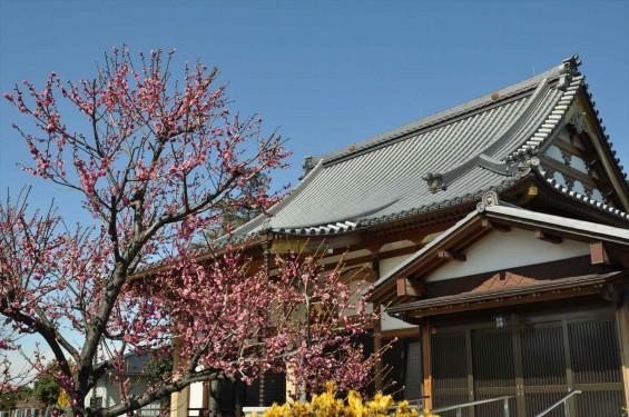20150312 埼玉県久喜市 香最寺の梅が間もなく満開DSC_0005