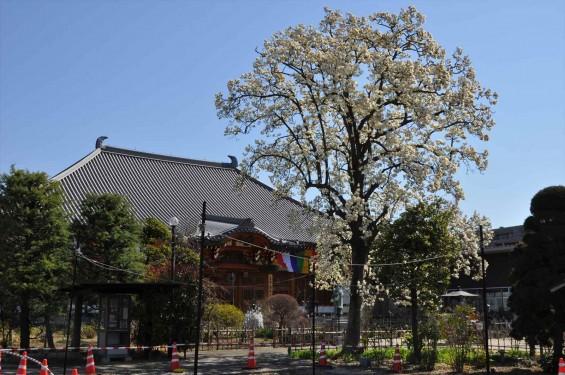 20150325 埼玉県上尾市 遍照院 モクレンの花 木蓮の花DSC_0027-