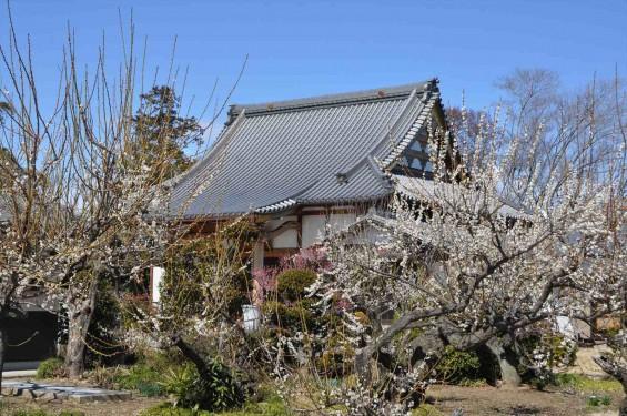 20150312 埼玉県久喜市 香最寺の梅が間もなく満開DSC_0022