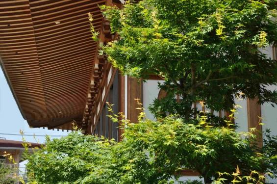 2015年5月 上尾市瓦葺の楞厳寺の新緑のカエデの若葉 種 翼果 翅果DSC_0327