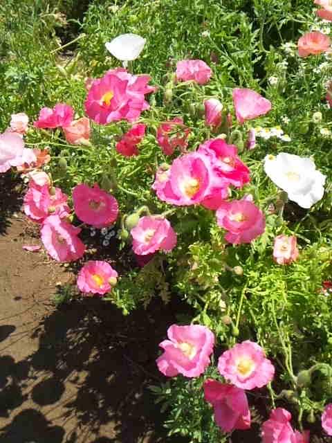 2015年5月 久喜市のしょうぶポピーまつりに行ってきました 150513_112117