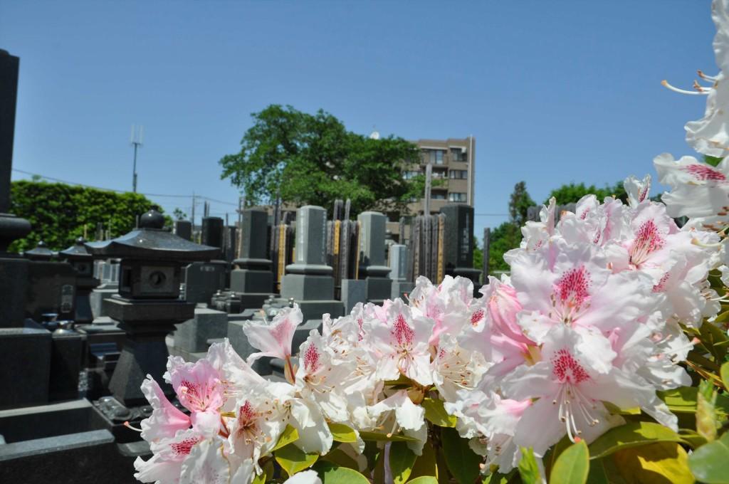 2015年5月10日 埼玉県上尾市瓦葺 楞厳寺のシャクナゲとオオムラサキツツジDSC_0280