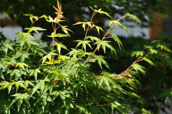 2015年5月 上尾市瓦葺の楞厳寺の新緑のカエデの若葉 種 翼果 翅果DSC_0328