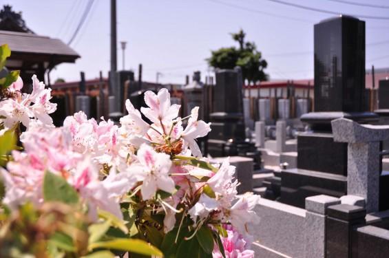 2015年5月10日 埼玉県上尾市瓦葺 楞厳寺のシャクナゲとオオムラサキツツジDSC_0271