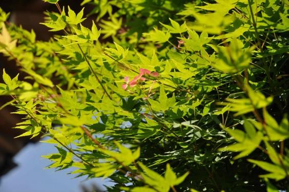 2015年5月 上尾市瓦葺の楞厳寺の新緑のカエデの若葉 種 翼果 翅果DSC_0336