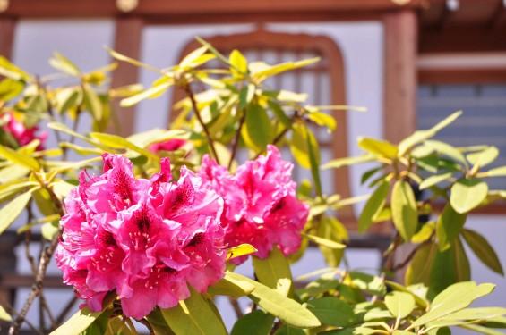 2015年5月10日 埼玉県上尾市瓦葺 楞厳寺のシャクナゲとオオムラサキツツジDSC_0231