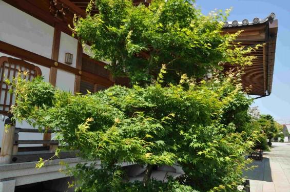 2015年5月 上尾市瓦葺の楞厳寺の新緑のカエデの若葉 種 翼果 翅果DSC_0326