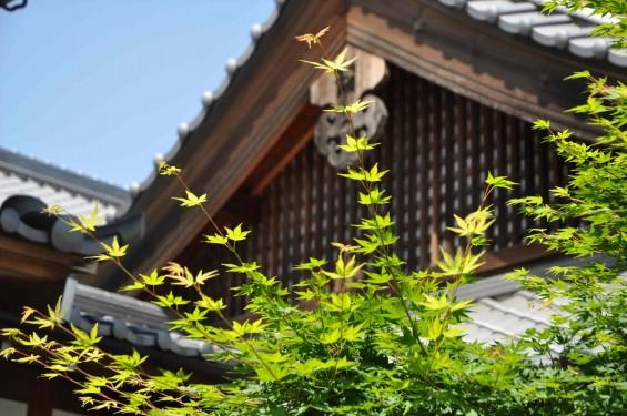 2015年5月 上尾市瓦葺の楞厳寺の新緑のカエデの若葉 種 翼果 翅果DSC_0330