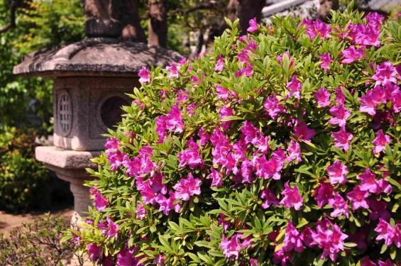 2015年5月10日 埼玉県上尾市瓦葺 楞厳寺のシャクナゲとオオムラサキツツジDSC_0307