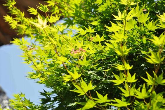2015年5月 上尾市瓦葺の楞厳寺の新緑のカエデの若葉 種 翼果 翅果DSC_0331