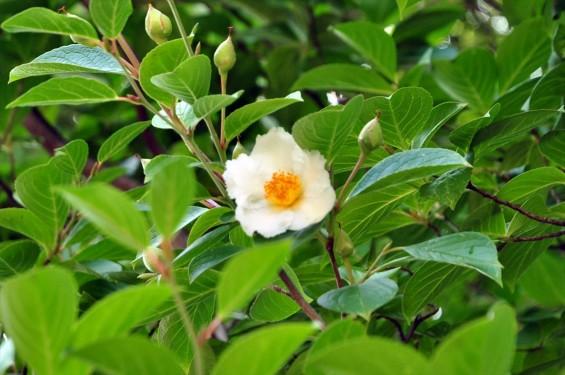 2015年6月24日 埼玉県伊奈町の寺院 法光寺の沙羅双樹 沙羅の木 シャラの木 シャラノキ 花-DSC_1591