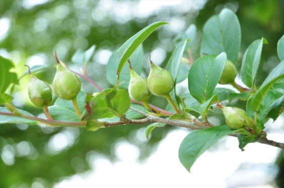 2015年6月24日 埼玉県伊奈町の寺院 法光寺の沙羅双樹 沙羅の木 シャラの木 シャラノキ 花-DSC_1596