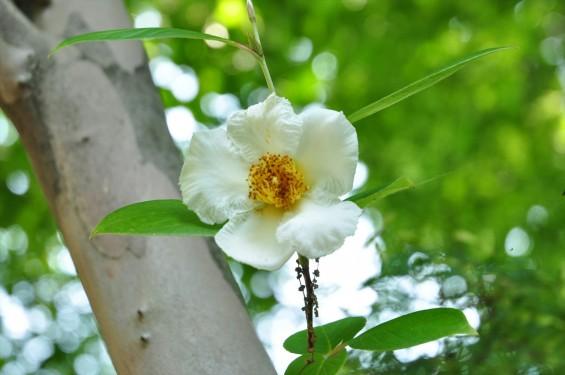 2015年6月24日 埼玉県伊奈町の寺院 法光寺の沙羅双樹 沙羅の木 シャラの木 シャラノキ 花-DSC_1603