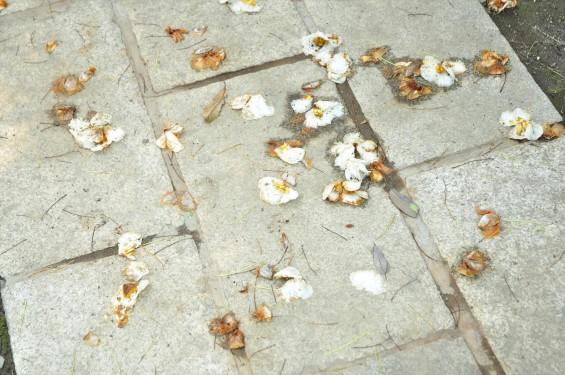 2015年6月24日 埼玉県伊奈町の寺院 法光寺の沙羅双樹 沙羅の木 シャラの木 シャラノキ 花-DSC_1597