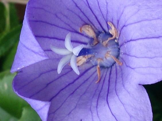 2015年7月 桔梗の花 白 紫 墓石 雌花期 雌蕊開くDSC_0195
