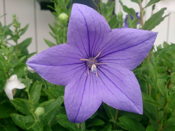 2015年7月 桔梗の花 白 紫 墓石DSC_0196