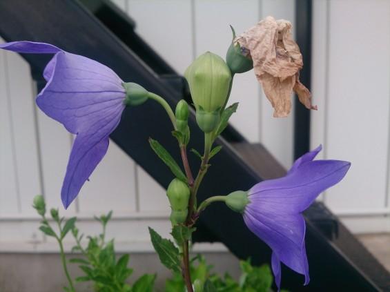 2015年7月 桔梗の花 白 紫 墓石DSC_0198