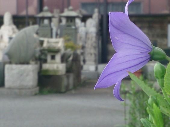 2015年7月 桔梗の花 白 紫 墓石DSC_0201